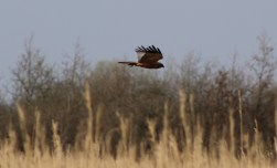Marsh Harrier (E)