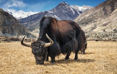 Second Yak