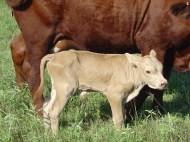 Yellow dun slick bull with dam
