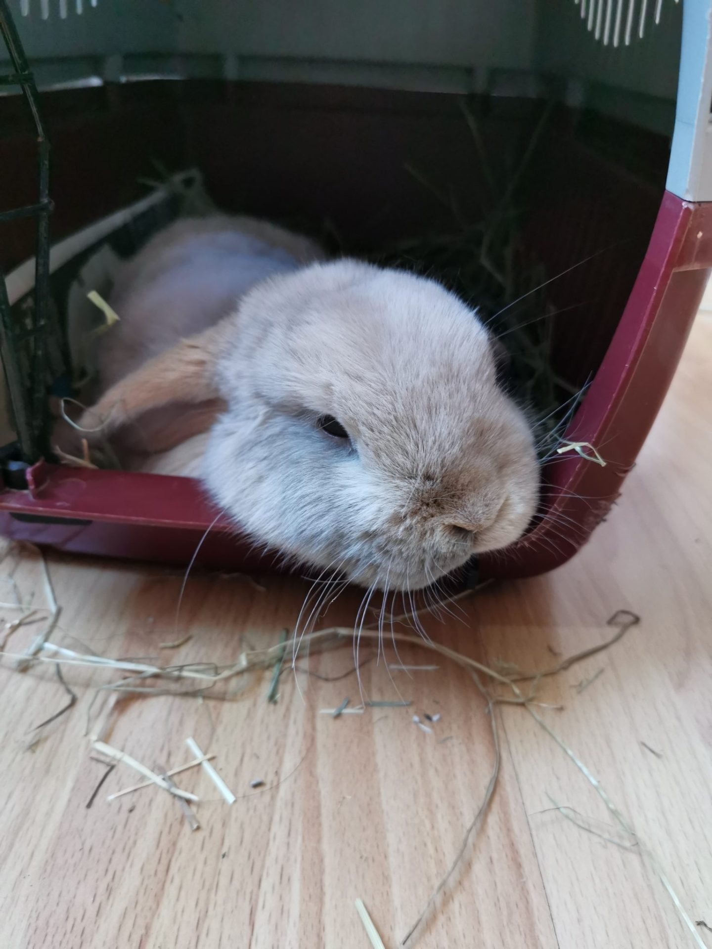 dwarf lop house bunny https://lukeosaurusandme.co.uk