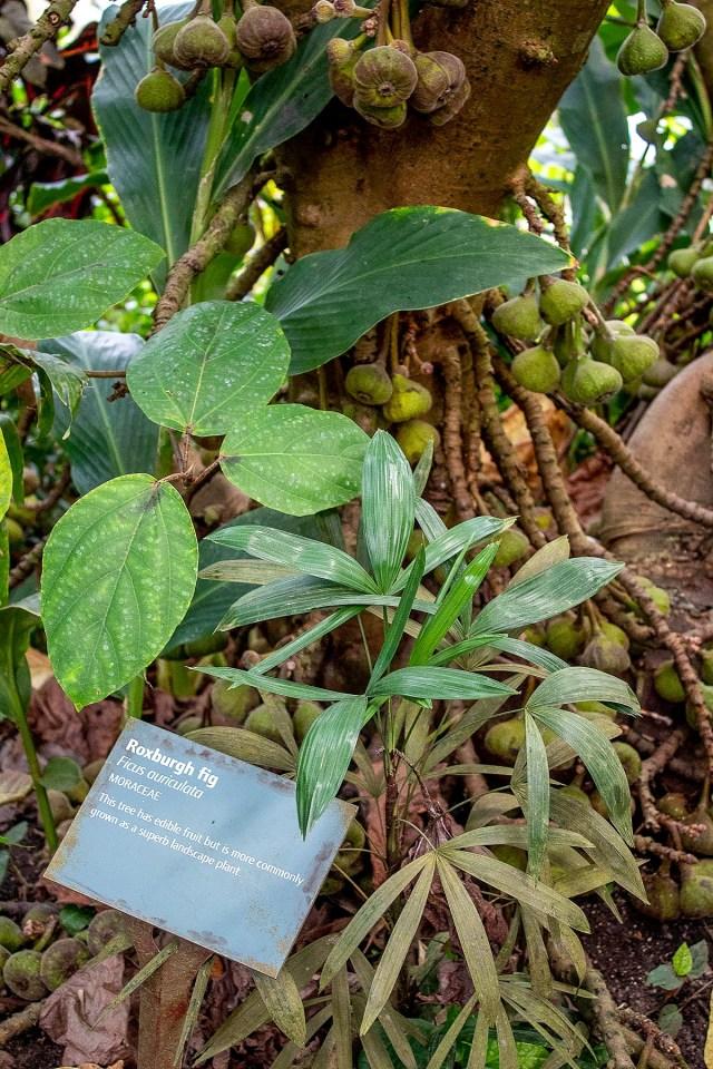An image of a Roxburgh Fig tree bearing fruit