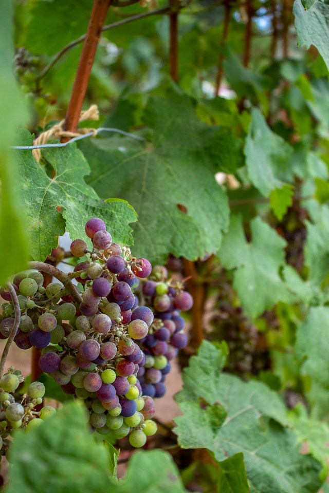 a close up of purple and green grapes from grape vines