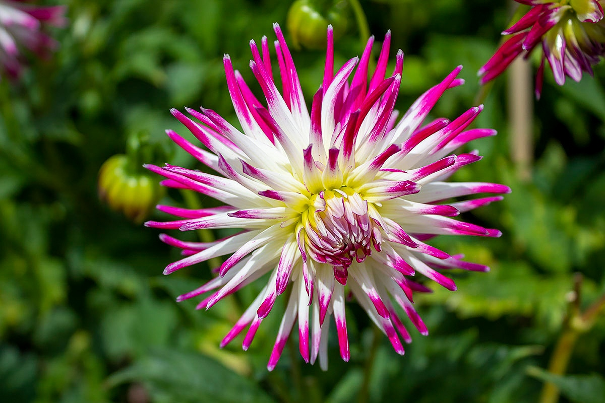 An extreme close up of a species of flower, perhaps Dahlia, from the Eden Project. The flower has petals that look like spikes or fireworks and is white and pink.