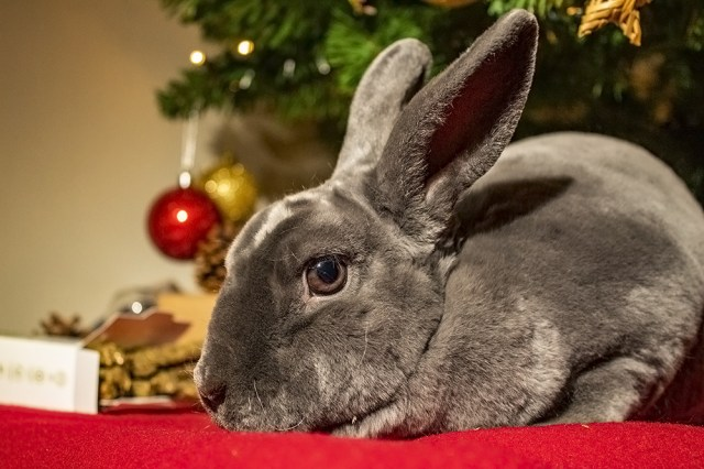 A grey Mini Rex house rabbit with a Christmas tree behind her.