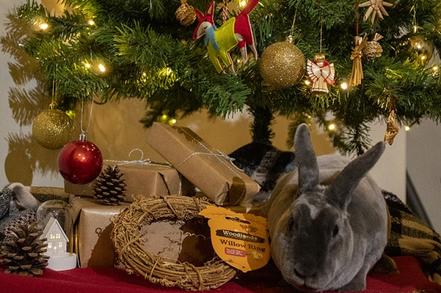 A grey Mini Rex pet house rabbit surrounded by rabbit toys and treats underneath a Christmas tree.