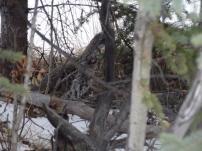 Ein spruce Grouse versteckt sich im Dickicht. Erst im Herbst ist wieder Jagdsaison, so lange werde ich mit der Kamera schiessen.