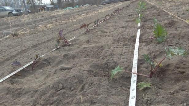 Zwei Sorten Gruenkohl wurden im richtigen Abstand in ein draussen-Beet gepflanzt.