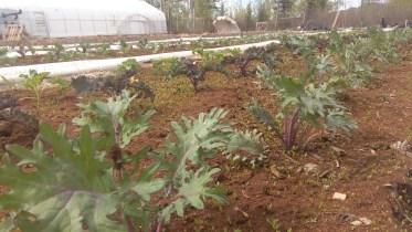 Die Gruenkohlpflanzen wurden mit einer Schicht Torf bedeckt und warten auf ihre Bewaesserung.