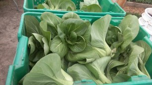 Der Bok Choi, den ich vor ein paar Wochen noch ins Gewaechshaus gepflanzt habe, ist nun ist Kisten gelagert und wird verkauft.