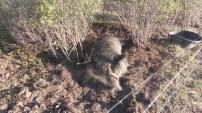 Bo strampelt liegend in seiner Kuhle um sein betraechtliches Gewicht auf die Schweinefuesse zu verteilen.