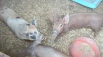 Kleine unglaeubige Schweinsaeuglein der Ferkel sind auf mich gerichtet.