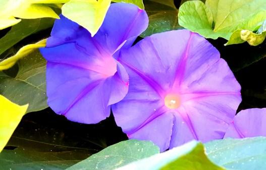 Purple2_ Sacramento