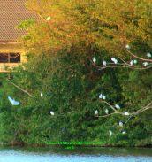 Egrets6