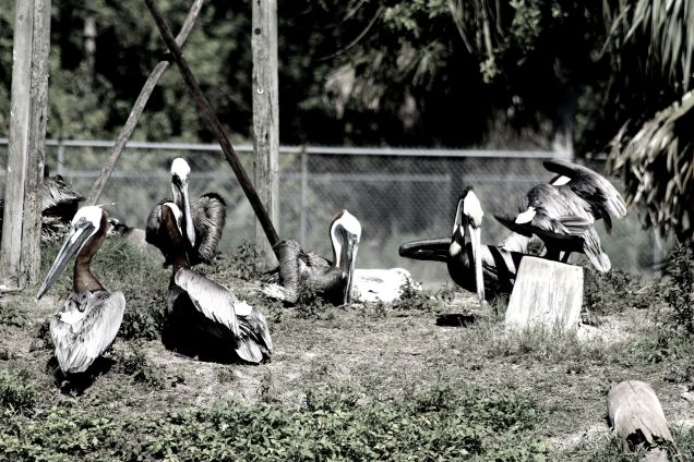 Pelicans Hanging