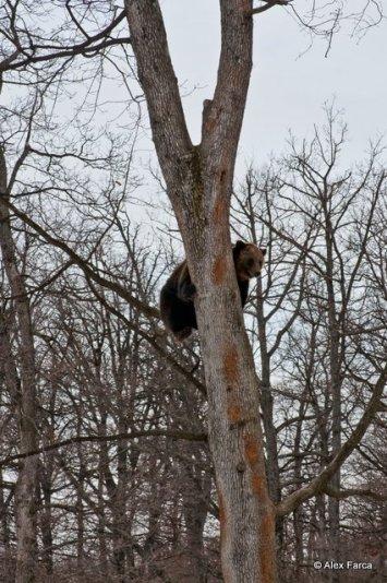 Ursuldin copac