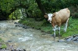 Și vacile se întorc acasă, nu-i așa?