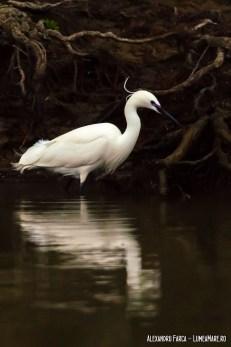 Egretă mică - Egretta garzetta
