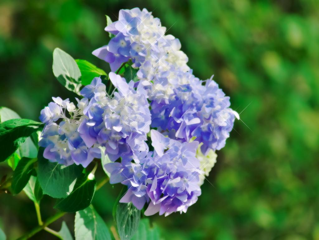 LUMIX 45-175mm | 作例 | 紫陽花と煌めき
