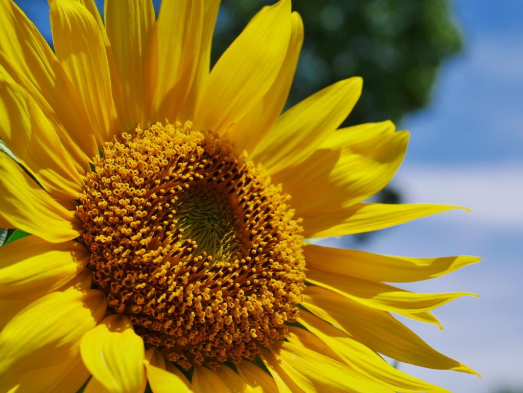 太陽の花。