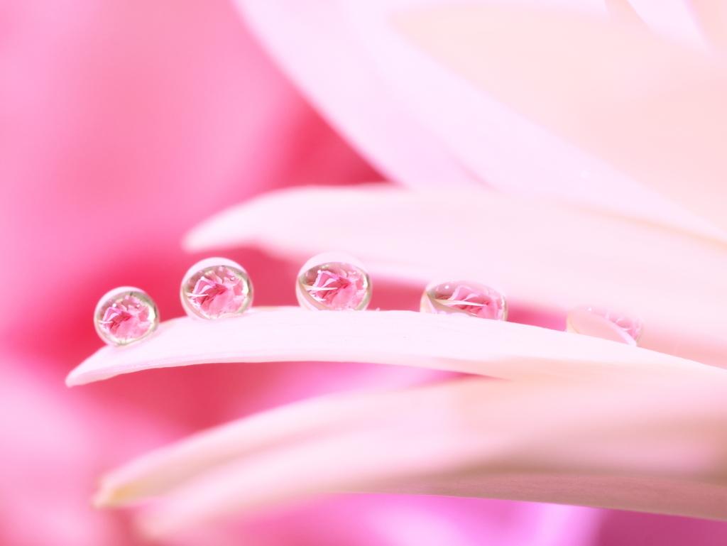 LEICA 45mm | 作例 | ピンクのガーベラと水滴