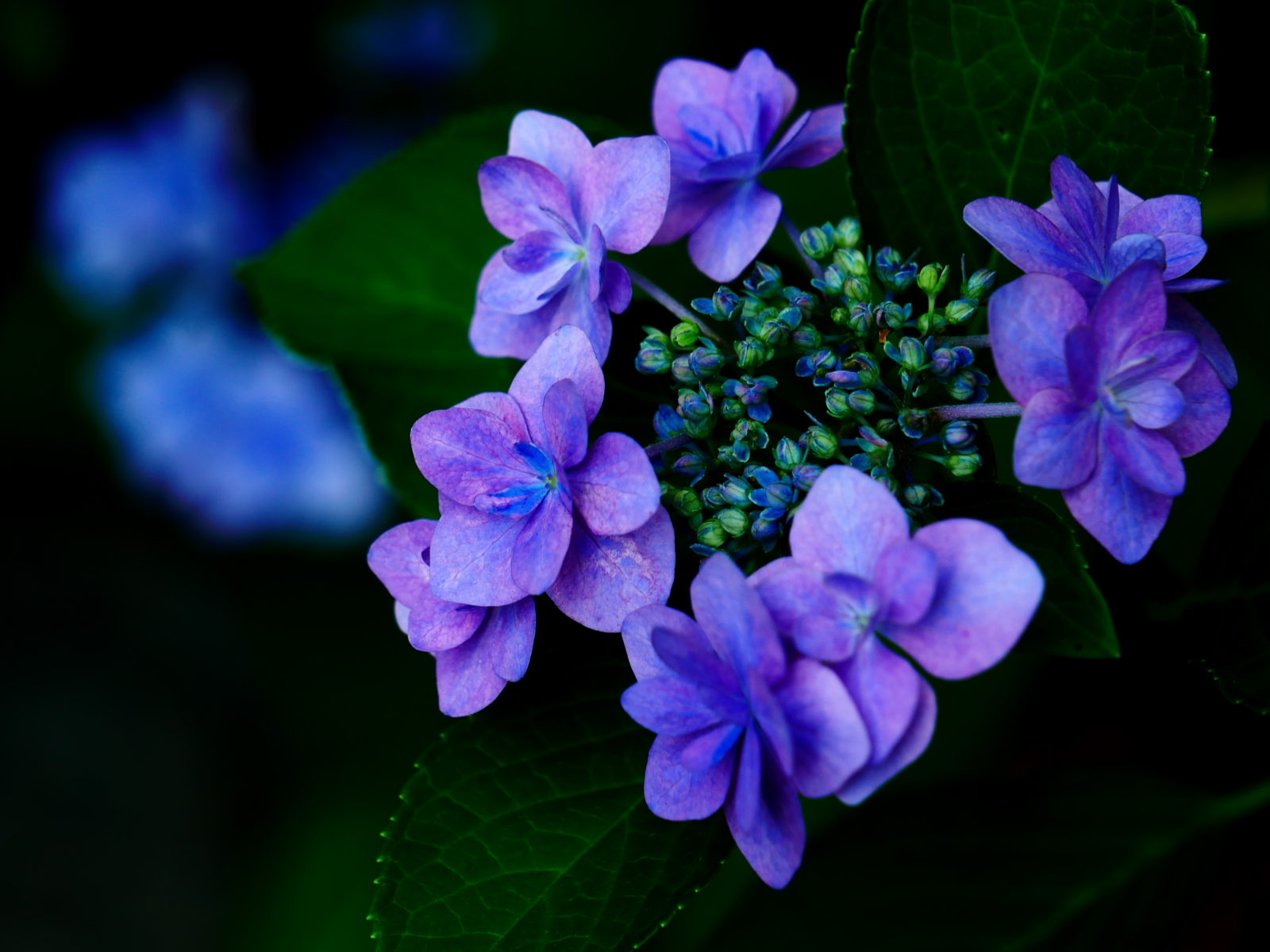 LEICA 12-60mm | 作例 | 紫陽花の雅