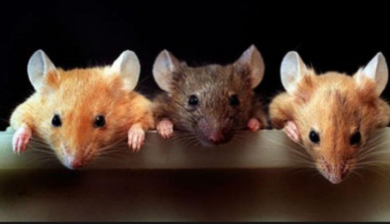 видеть во сне Мышей