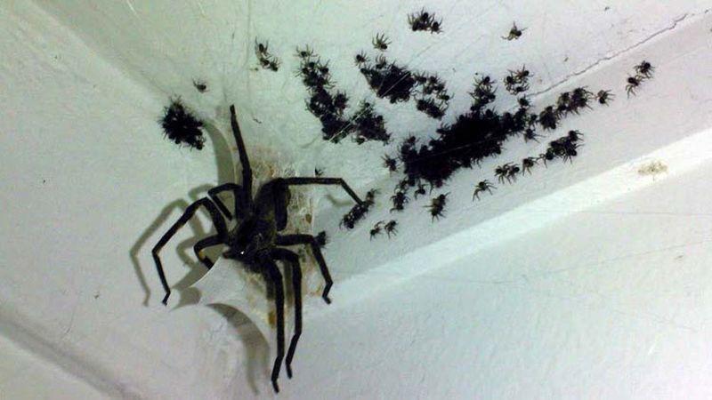 Маленький коричневый паук в доме