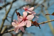 pink cherry blossom closeup1