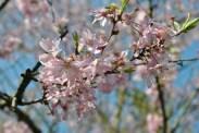 pink cherry blossom closeup2