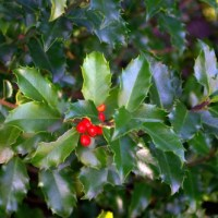 Holly, Plant of Saturn and Mars