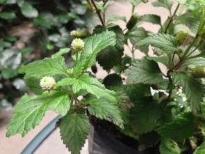 planta de stevia