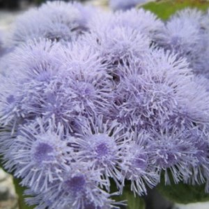 Ageratum houstonianum / Blåkvast