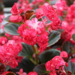 Begonia semperflorens 'Doublet' Fyldt Isbegonie