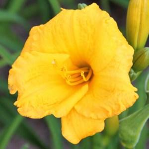 Hemerocallis x hybrid 'Clarion Gold' (Daglilje)