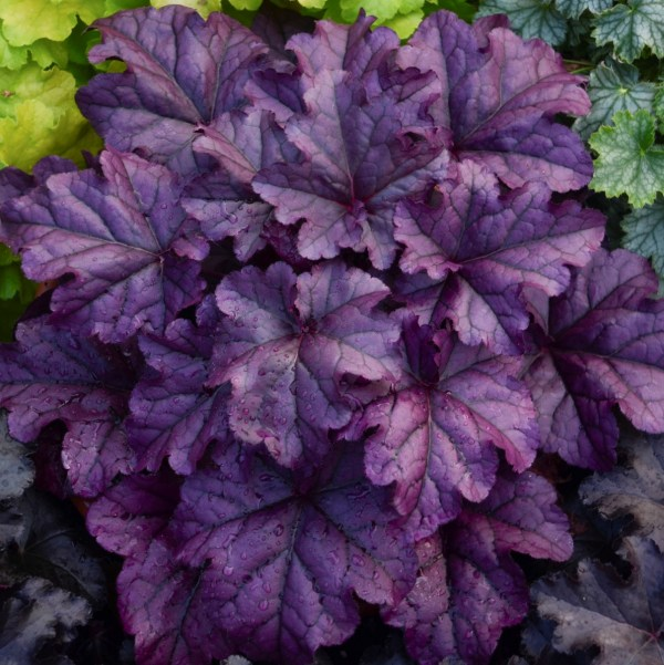 Heuchera x hybrida 'Wildberry' (Alunrod)