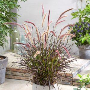 Pennisetum x advena 'Chelsea' (Lampepudsergræs)