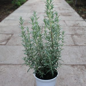 Rosmarinus officinalis 'Blue Winter' (Rosmarin)