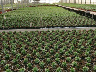 Produktion af sommerblomster hos lundagers gartneri