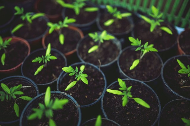 garden installation photo is of some green seedling growing in individual pots