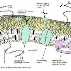 Diagram Of Fluid Mosaic Model Cell Membrane 5 Pin Oak Court Glen Head Ny Plasma The For Structure