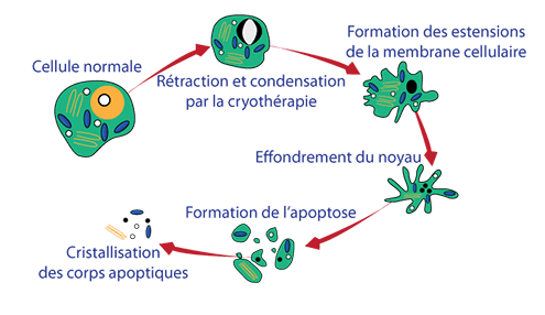 Schema cellule graisseuse en apoptose