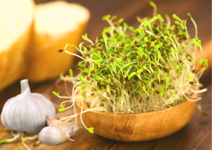 Why eating alfalfa sprouts can make Lupus worse?