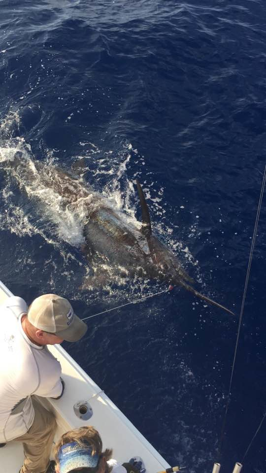 Blue Hawaii battles 800-pound blue marlin