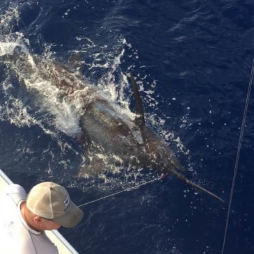 Blue Hawaii battles 800-pound blue marlin
