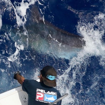 "Big blues, ""short bait bite,"" celebrate tuna"