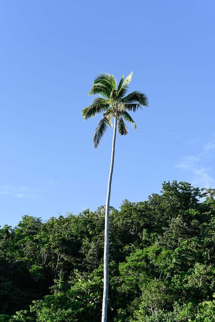 palm tree Fiji islands Qamea island