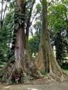 """Dua pohon yang ditanam berdampingan ini kerap dijuluki """"Pohon Jodoh"""" atau """"Couple Tree"""" karena perawakannya yang mirip. Padahal keduanya merupakan spesies berbeda. Pohon yang satu dari jenis Meranti Tembaga (Shorea leprosul Miq), dan yang sebelahnya adalah jenis pohon Beringin Putih (Ficus albipila (Miq.) King). Pohon aja berjodoh, masa kita enggak? #eaa"""