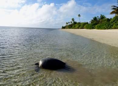 Tortue verte femelle qui rentre à l'océan(1)