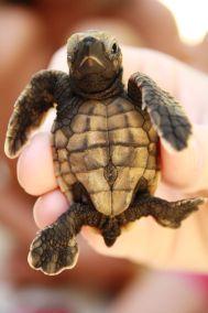 Bébé tortue verte