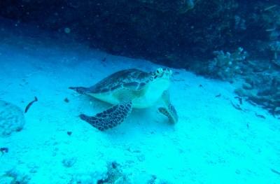 Jeune tortue verte dans l_eau